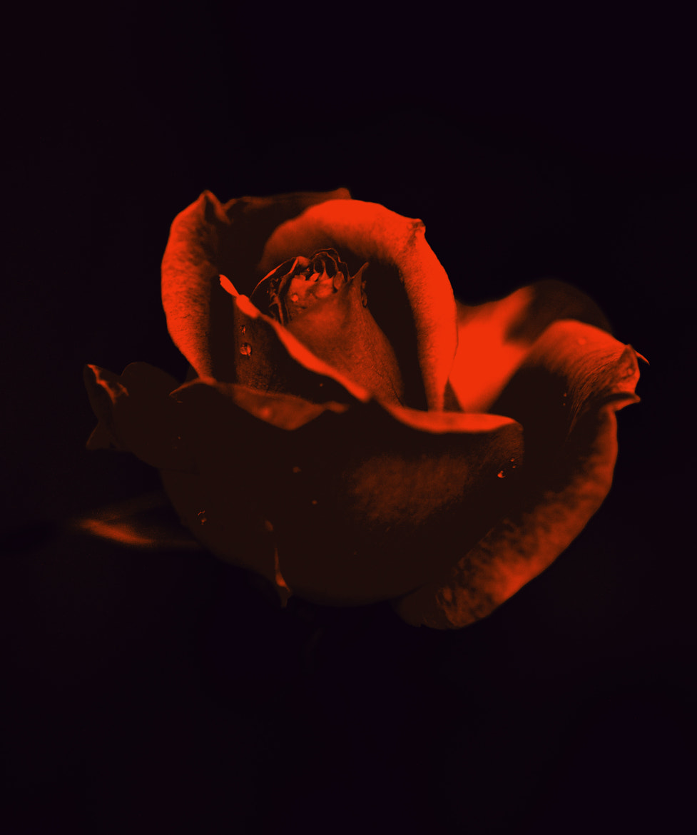 Photograph RED ROSE by ATHANASIOS LIGDAS on 500px