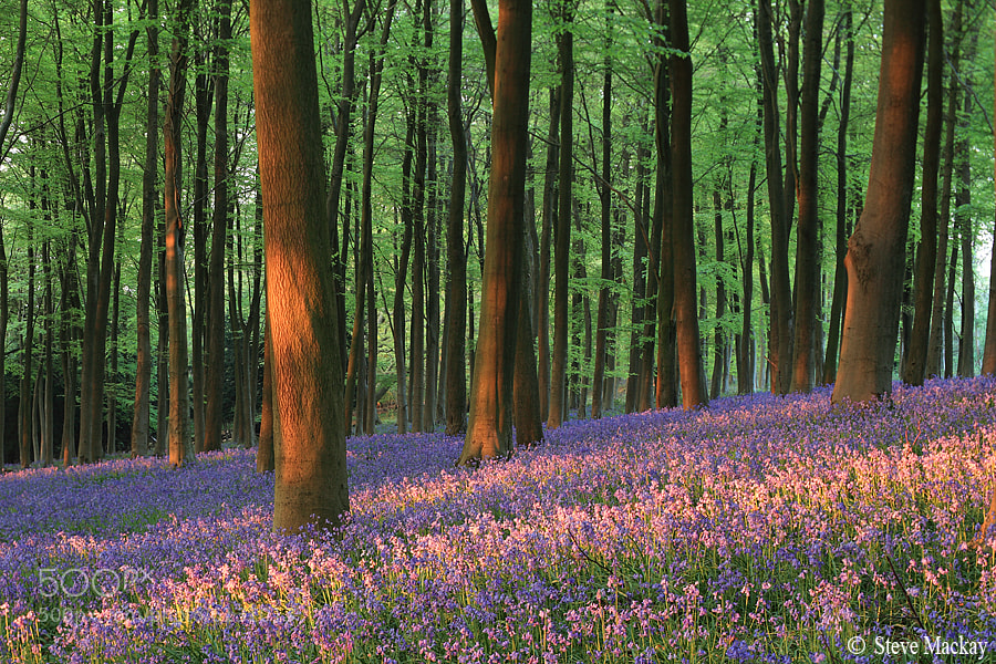 Photograph Bluebell Sunset by Steve Mackay on 500px