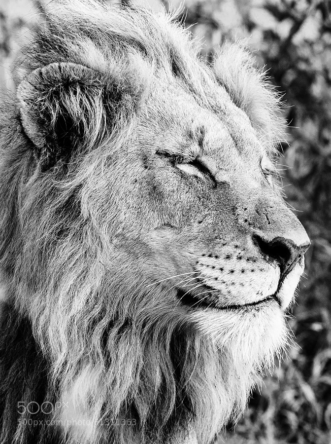 a lion with a confident face...