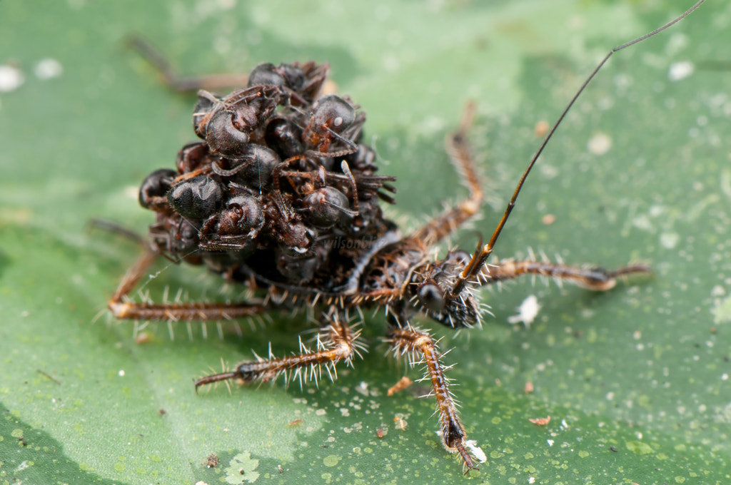 Photograph Assassin bug carrying ant carcasses by Wilson Koh on 500px
