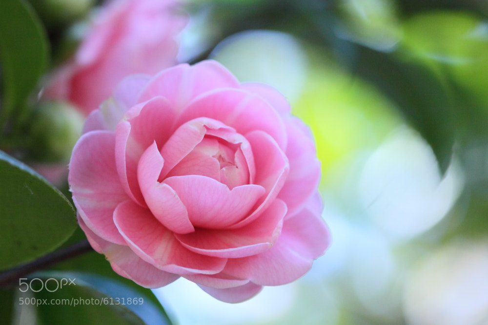 Photograph My Favorite Camellia-8 by Sueo Takano on 500px