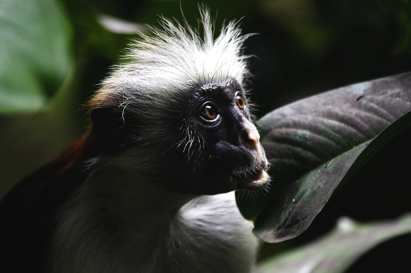 Photograph Colobus Monkey by Andrew Schoeman on 500px