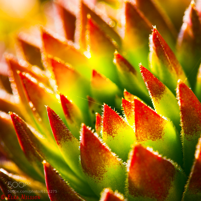 Photograph Sempervivum by Elka Nilsson on 500px