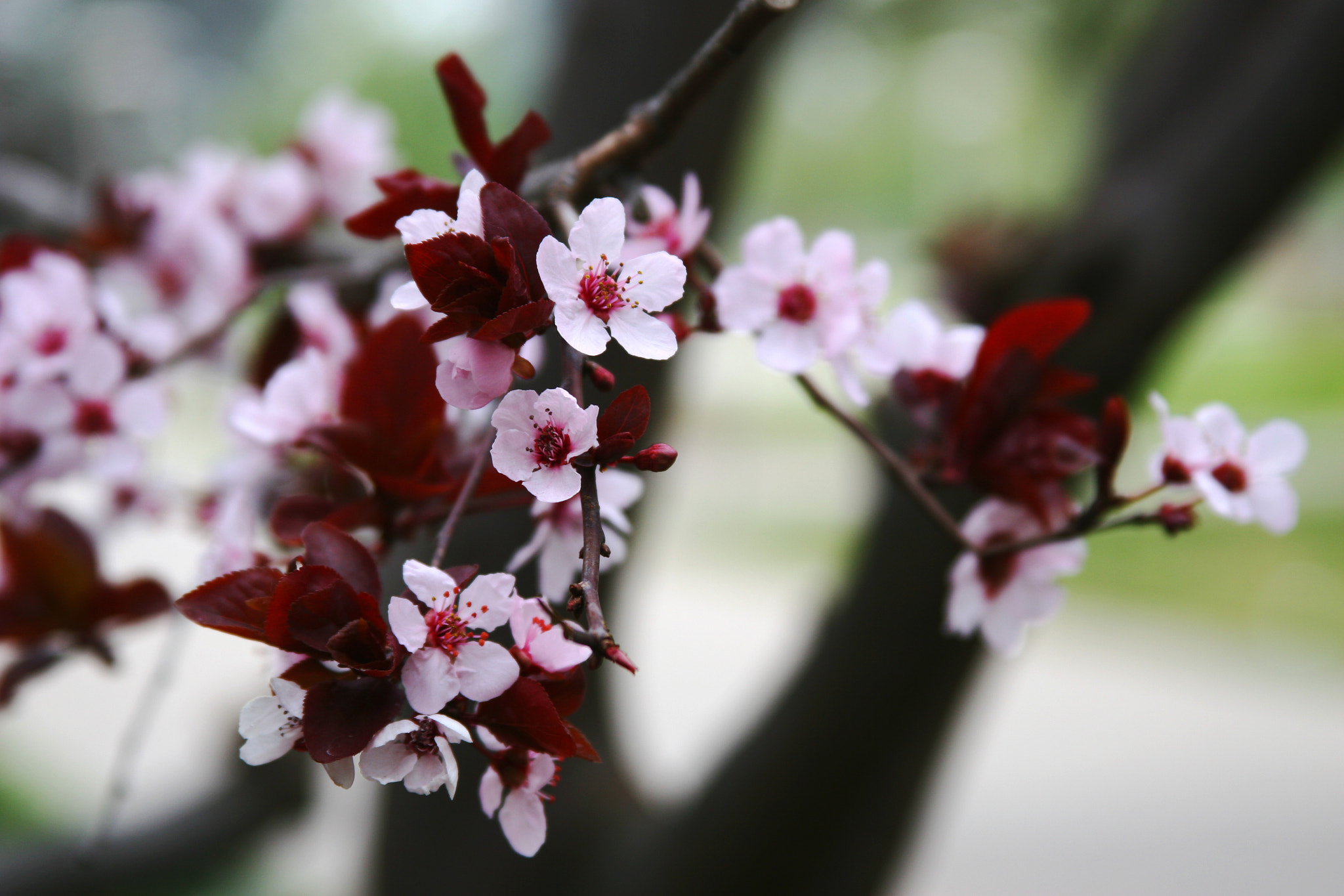 Photograph Cherry Blossoms by J. Rodriguez on 500px