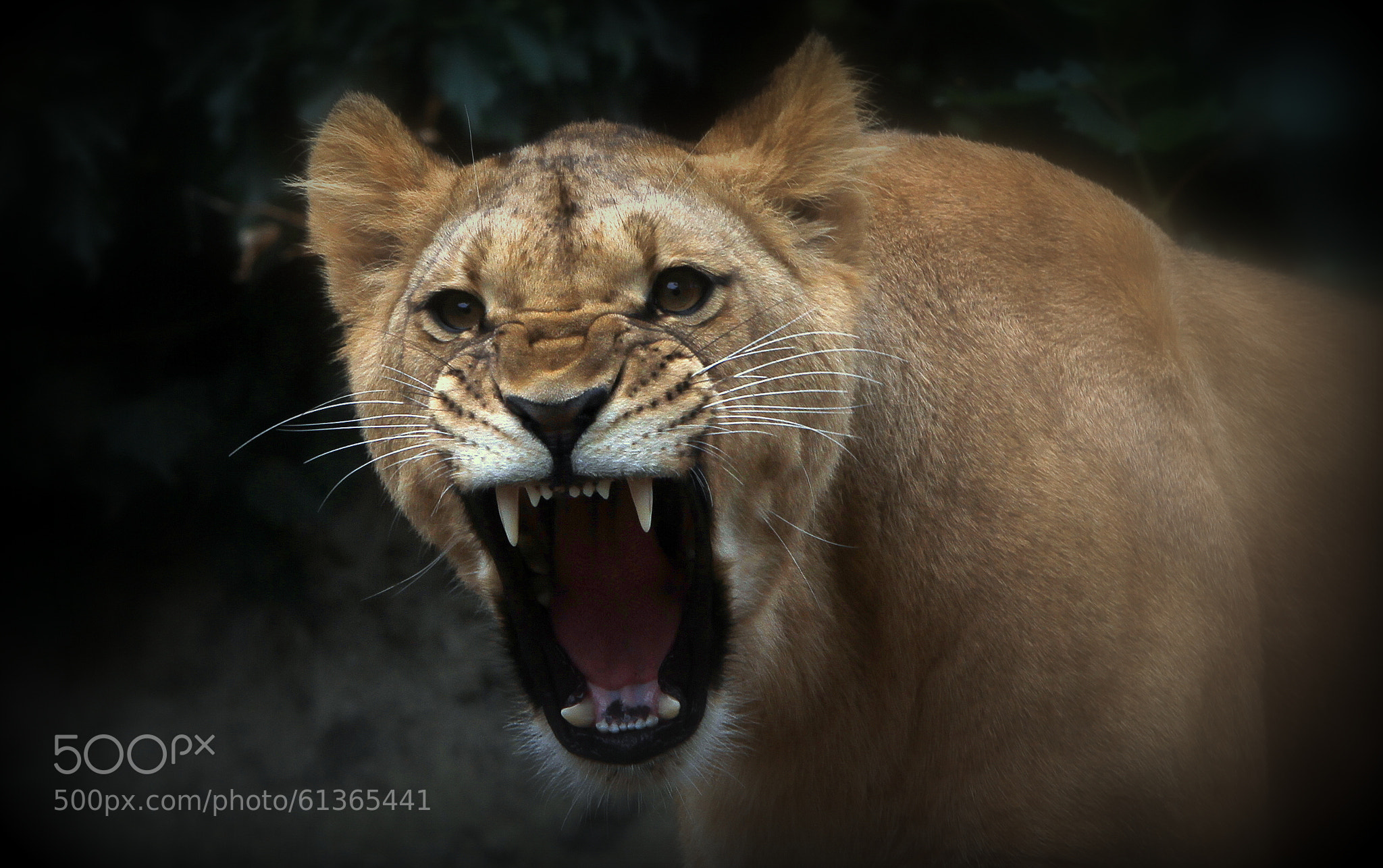 angry lioness - photo #9