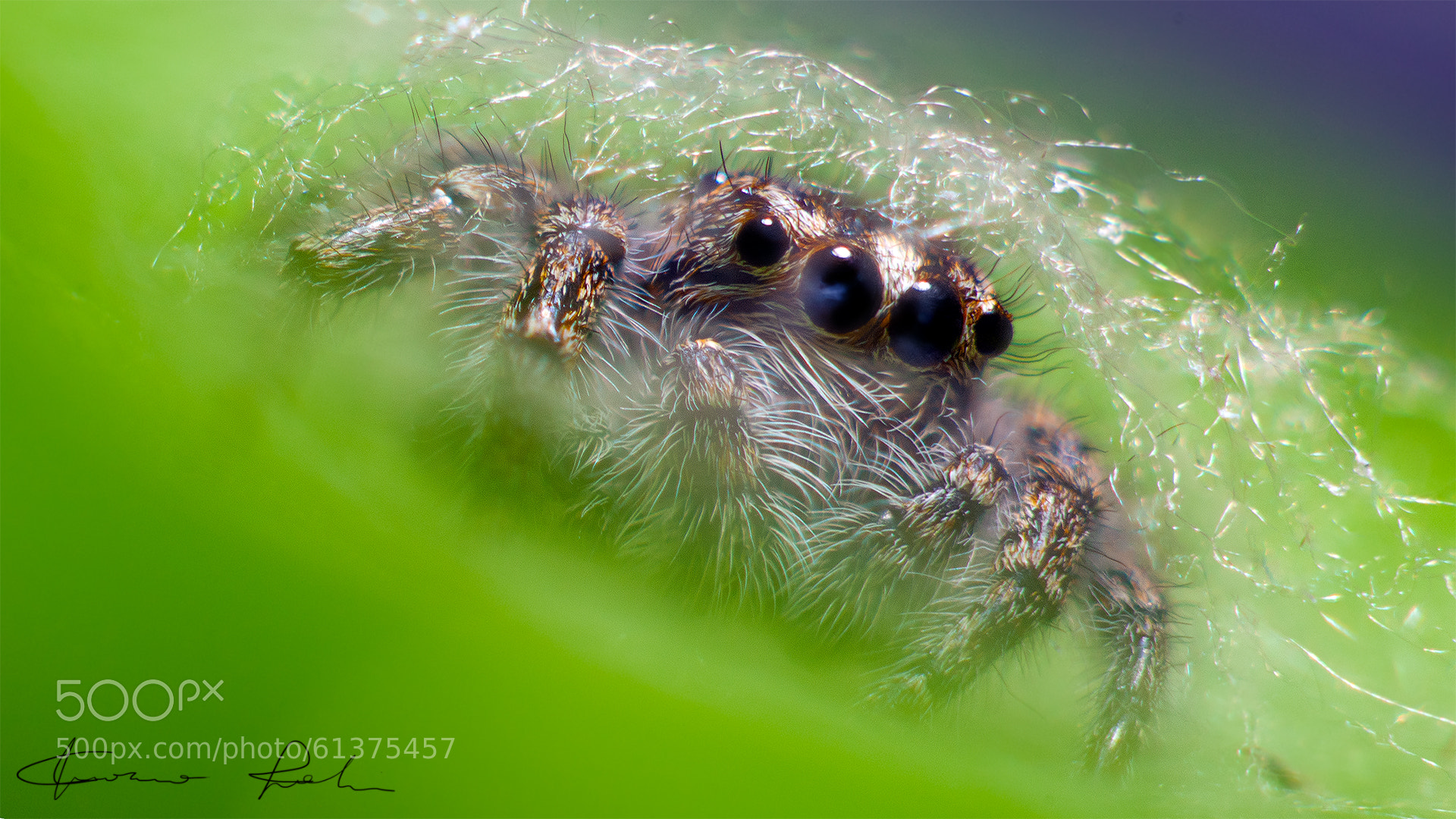 Photograph Jumping Spider inside web by Gianmarco Spagnoli ... Jumping Spider Web