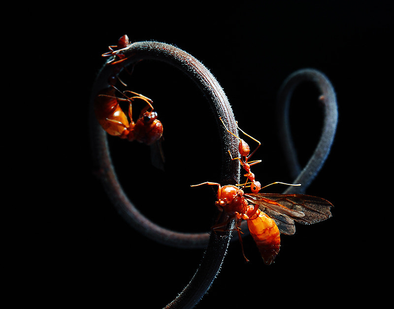 Photograph RED ANT by AUD03  on 500px