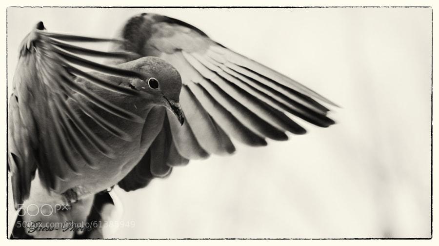 Landing Mourning Dove