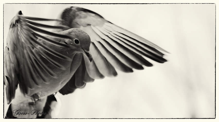 Landing Mourning Dove