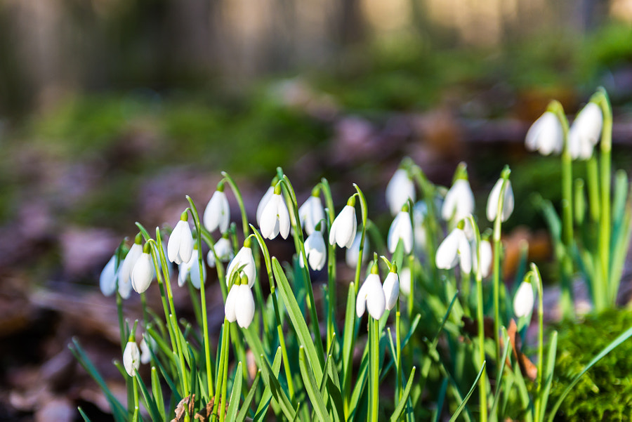 Snow drops - Spring is on the way!