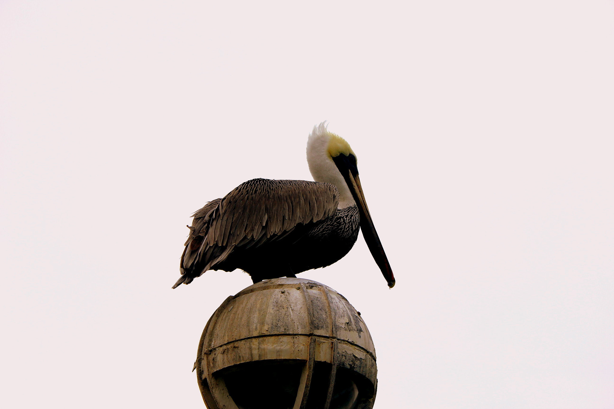 "Photograph ""Pelican"" by Caleb Moreno on 500px"