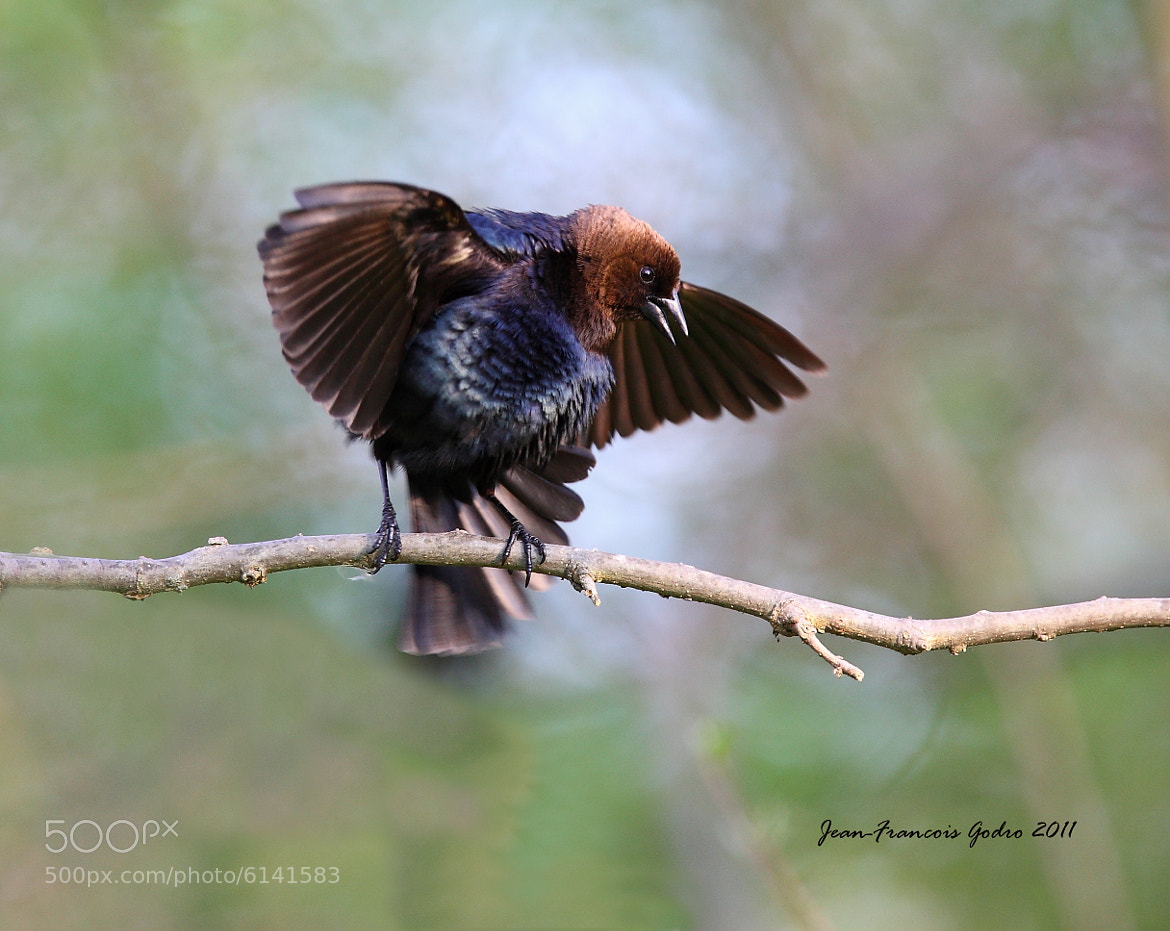 Photograph Brown-headed Cowbird (Vacher a tête brune) by Jean-François Gaudreau on 500px