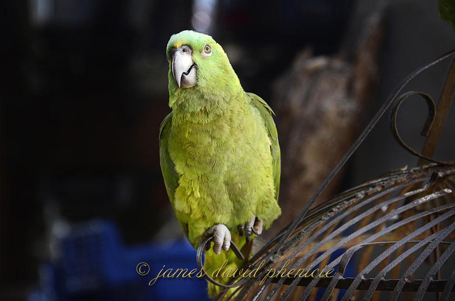 Nicaragua 2012:  Parrot