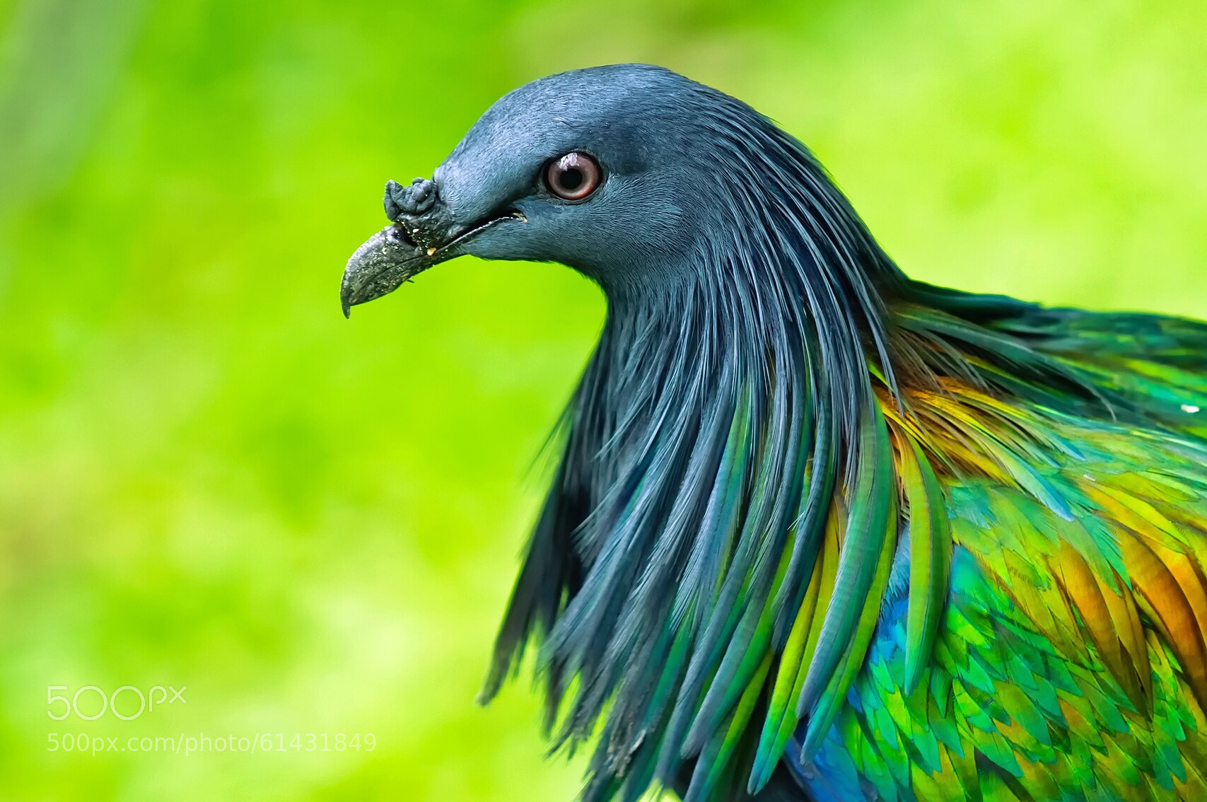 ... Creatures - Odd on Pinterest | Mammals, Endangered Species and Extinct Endemic Species Nicobar Pigeon