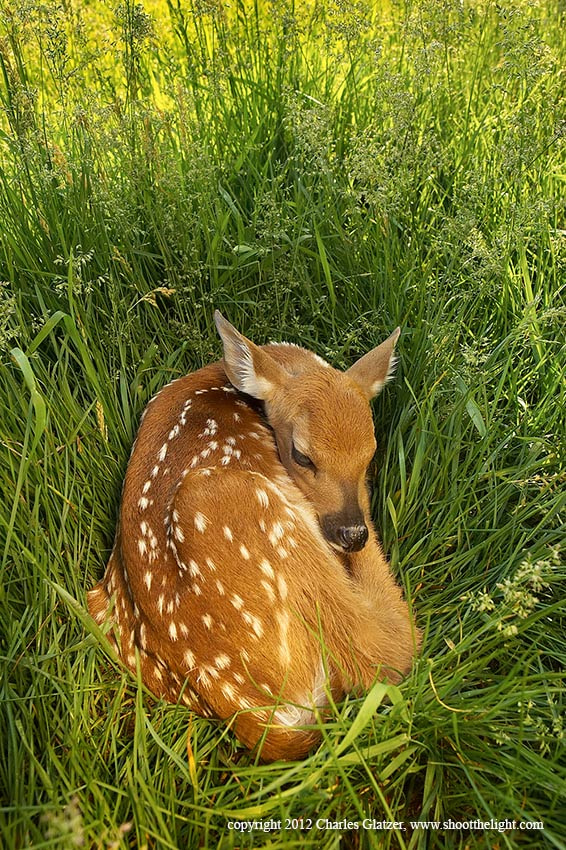 Photograph morning fawn in grass by Charles Glatzer on 500px