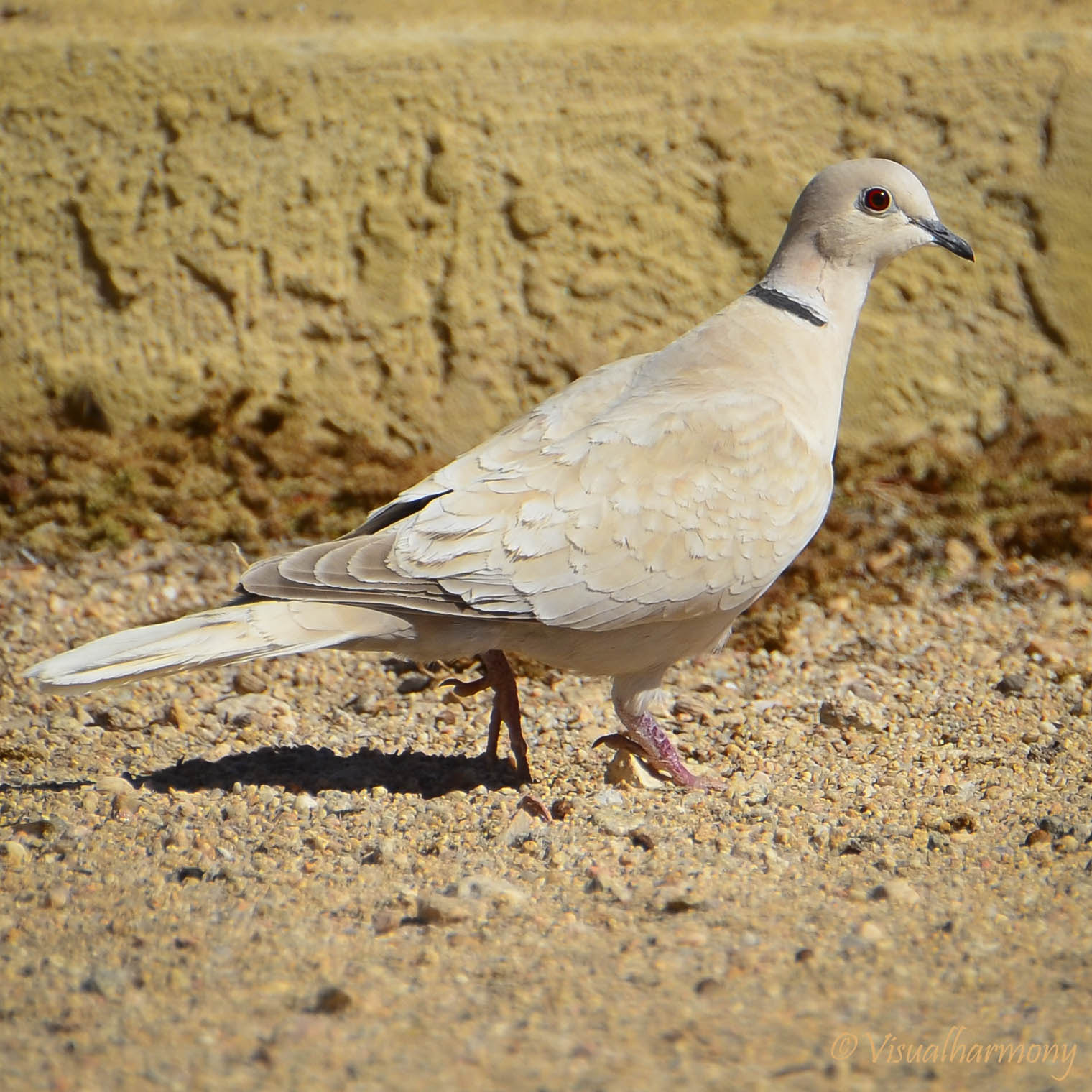 Photograph Eurasian Collared-Dove by Aurora Lopez on 500px