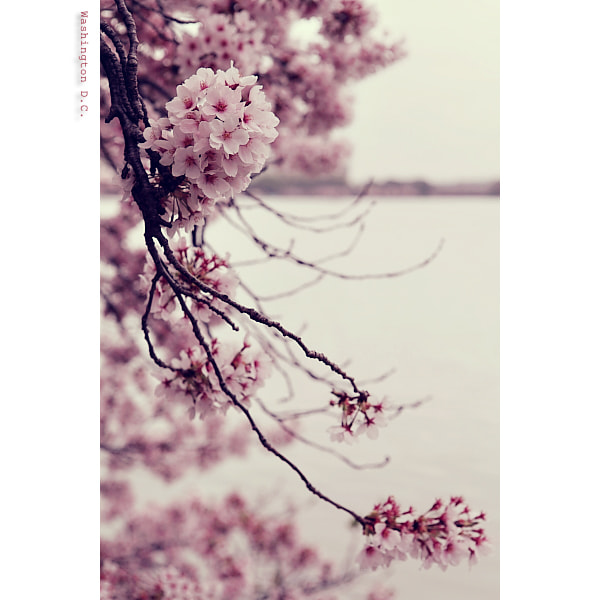 Photograph .cherry blossoms @ tidal basin. by Stephanie S.G. on 500px