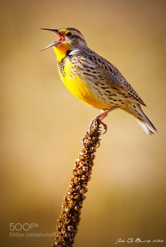Photograph Western Meadowlark by John De Bord Photography on 500px