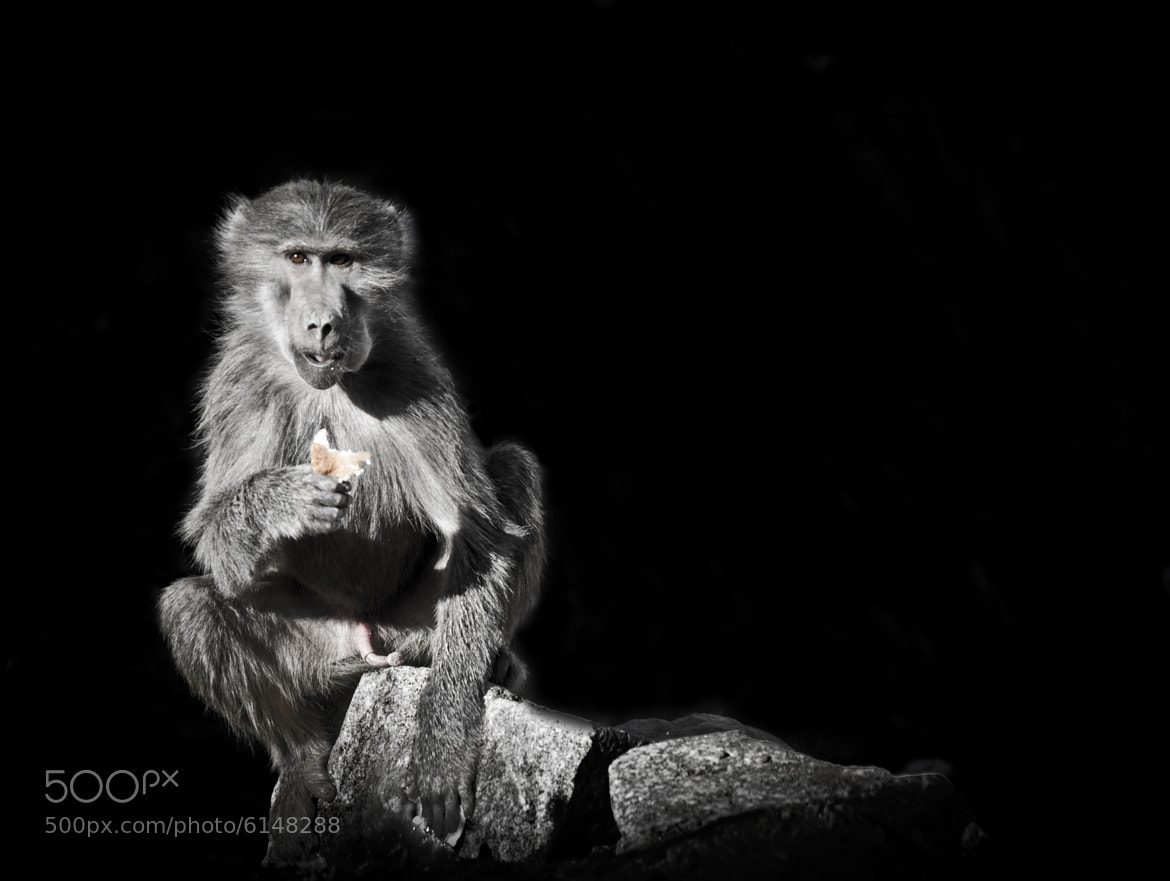 Photograph monkey by Abdulmajeed BinAfif on 500px