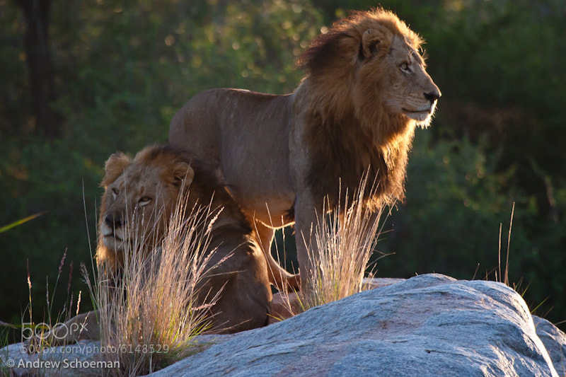 Photograph Sunrise Lions by Andrew Schoeman on 500px