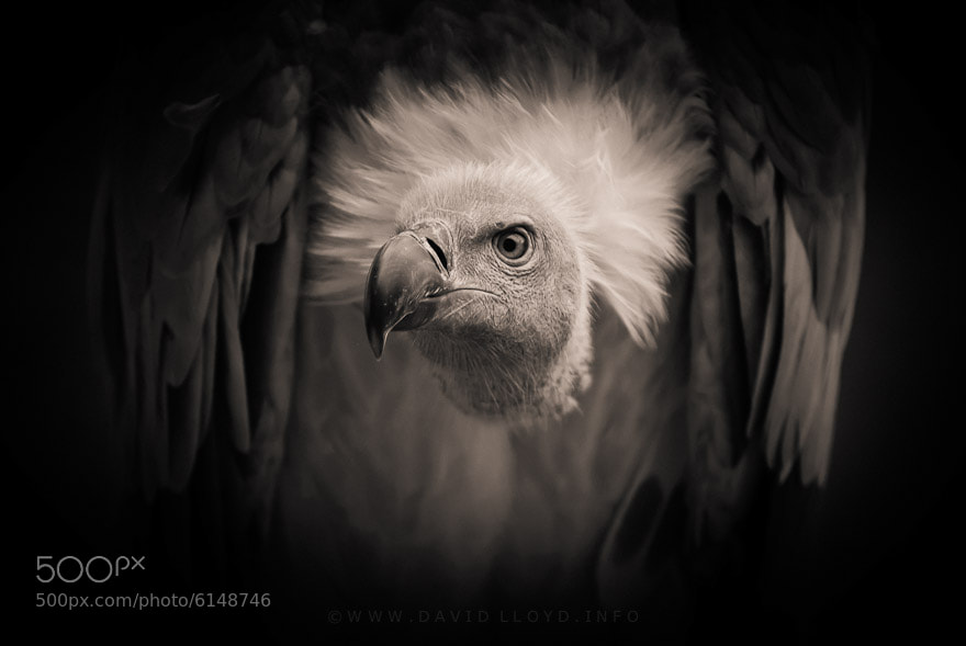 Photograph Vulture by David Lloyd on 500px