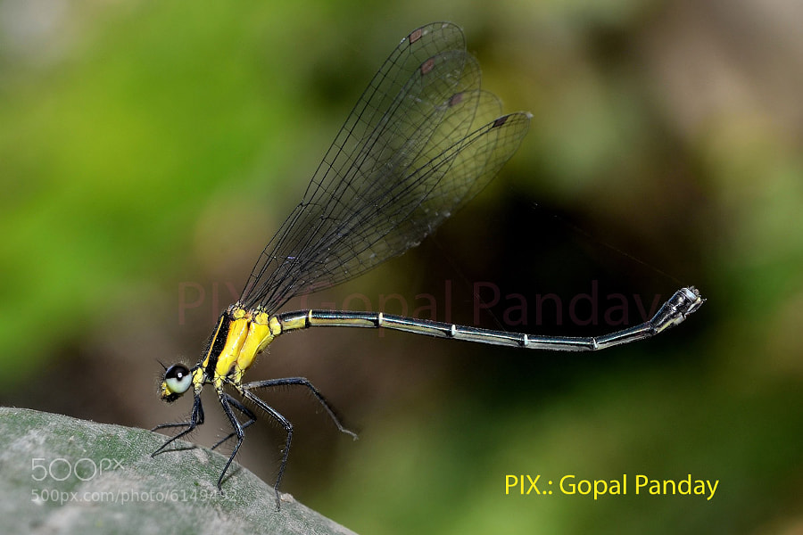 Photograph Dancing Dragon-fly by Gopal Panday on 500px
