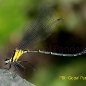 Dancing Dragon-fly by Gopal Panday (Gopalpanday)) on 500px.com