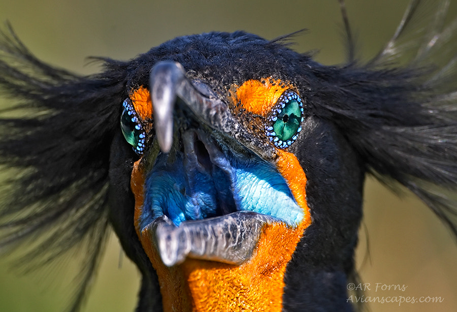 Photograph One intense Cormorant !!! by Alfred Forns on 500px
