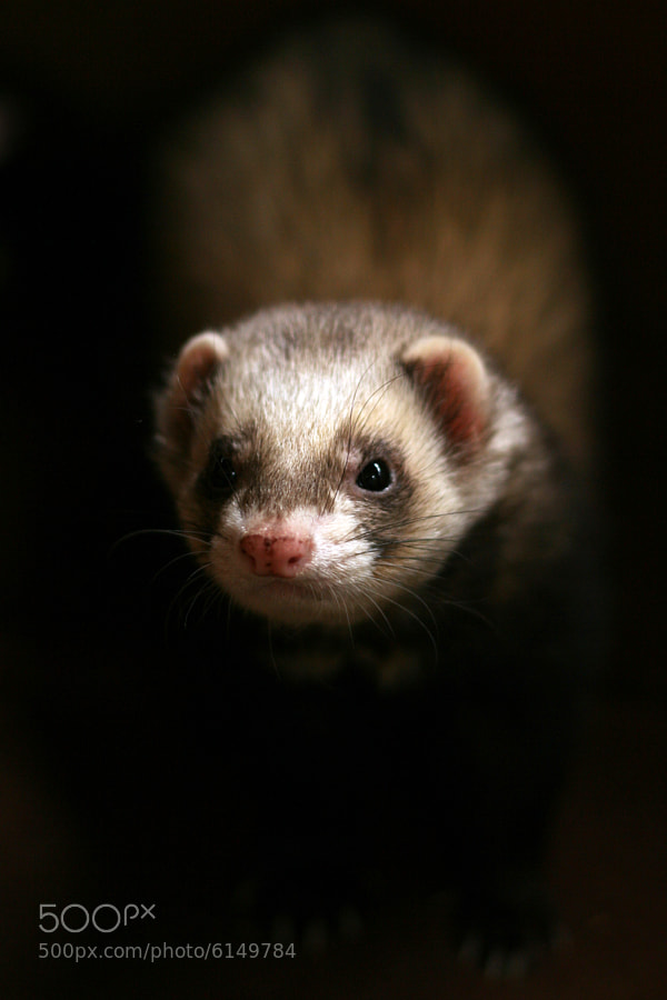 Photograph Ferret by Alan Hinchliffe on 500px