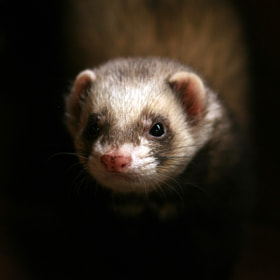 Ferret by Alan Hinchliffe (incheye1971)) on 500px.com