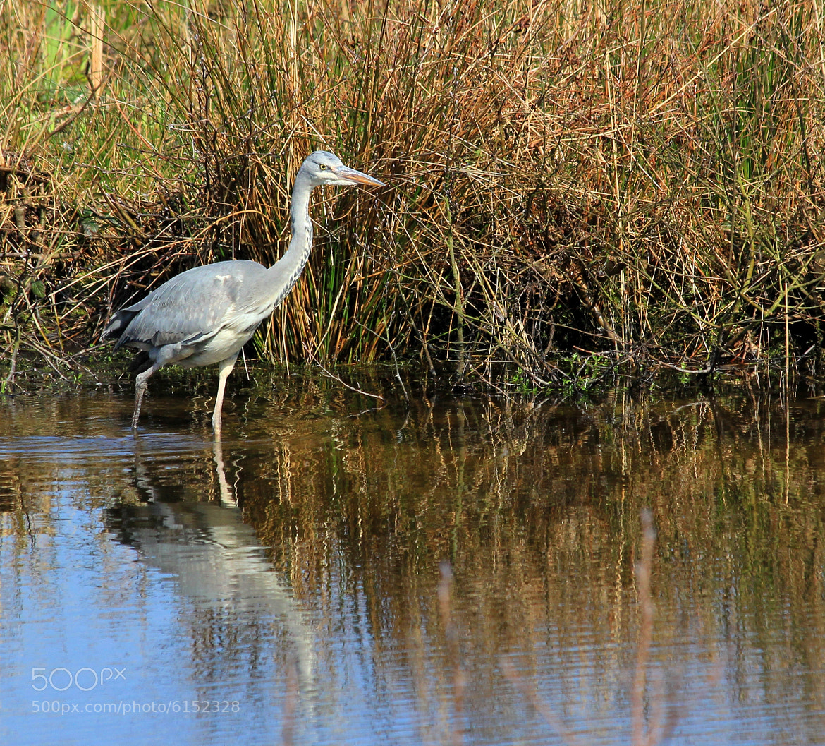 Photograph Hunting Grey Heron by Deborah Anderson-Marland on 500px