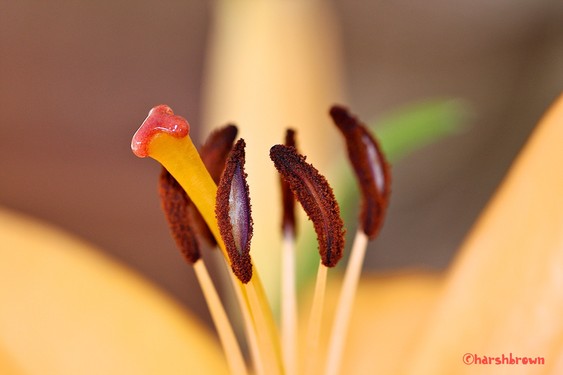 Photograph Inside of a Lily by Harsh Brown on 500px