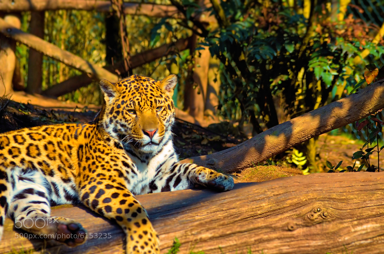 Photograph leopard by joan koch on 500px