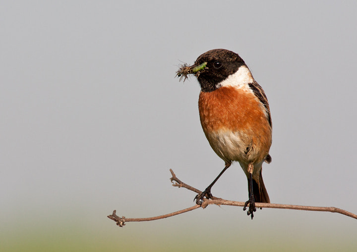 Photograph Stonechat by Lea Roberts on 500px