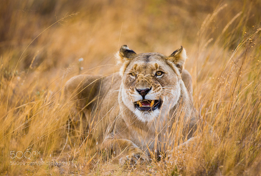 Photograph Lioness by Hans Kruse on 500px