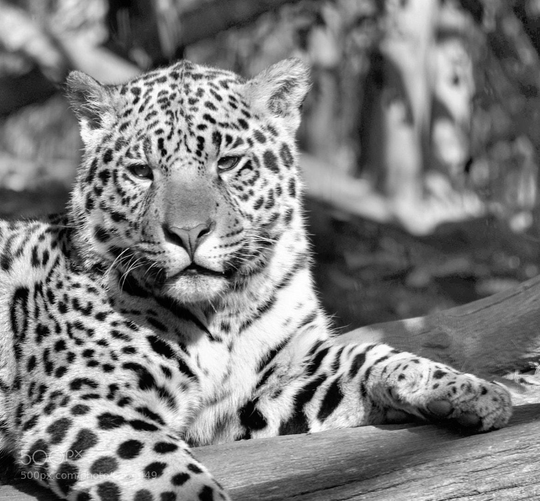 Photograph leopard 2 by joan koch on 500px