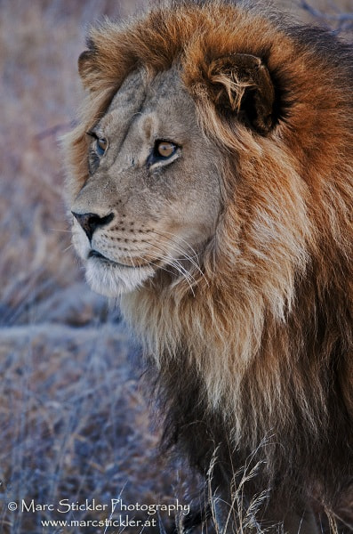 Photograph Roar by Marc Stickler on 500px