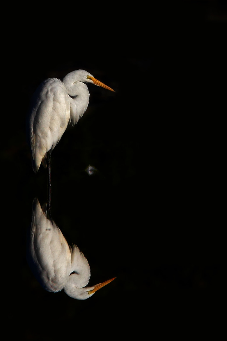 Photograph Feather - Great Egret by Jim Cumming on 500px