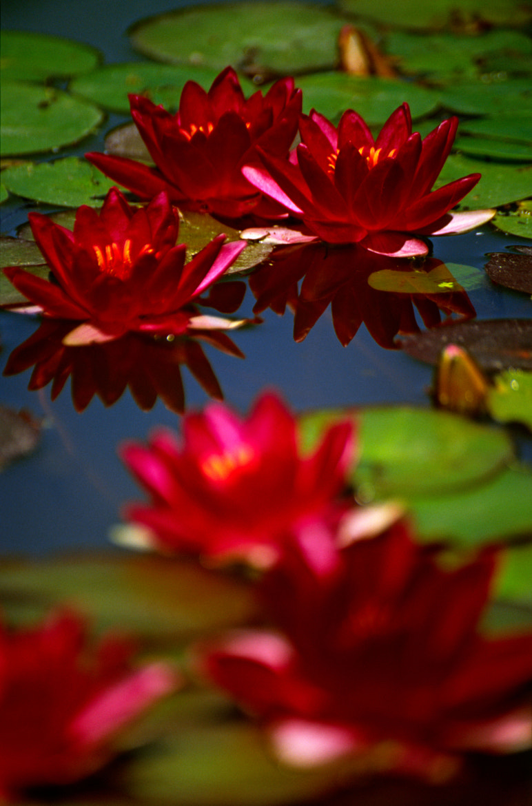Photograph water lily by joseph Dupouy on 500px