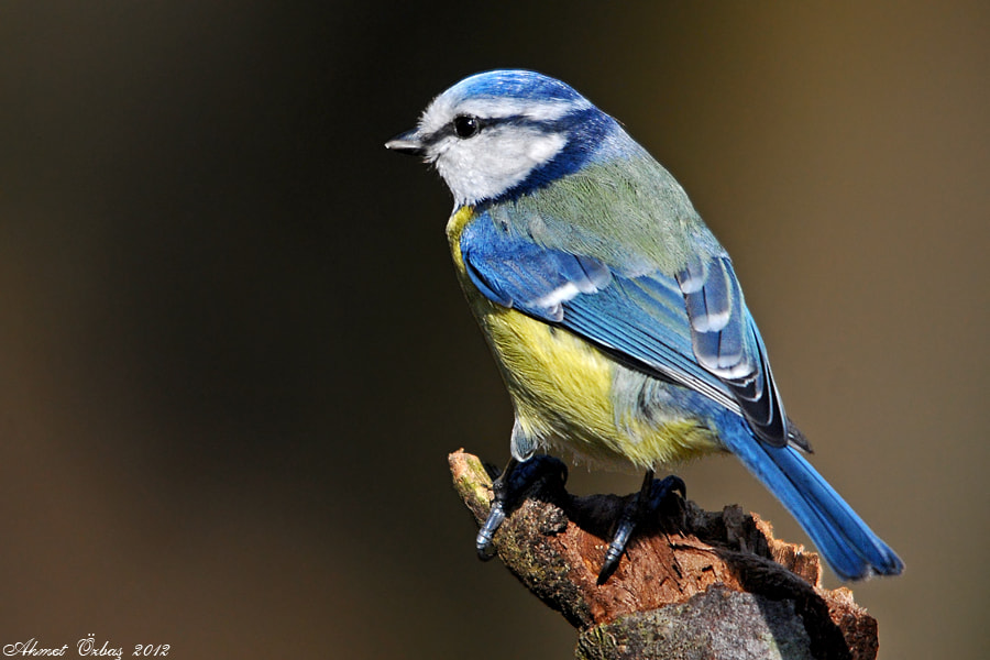Photograph Blue tit  by Ahmet Özbaş on 500px