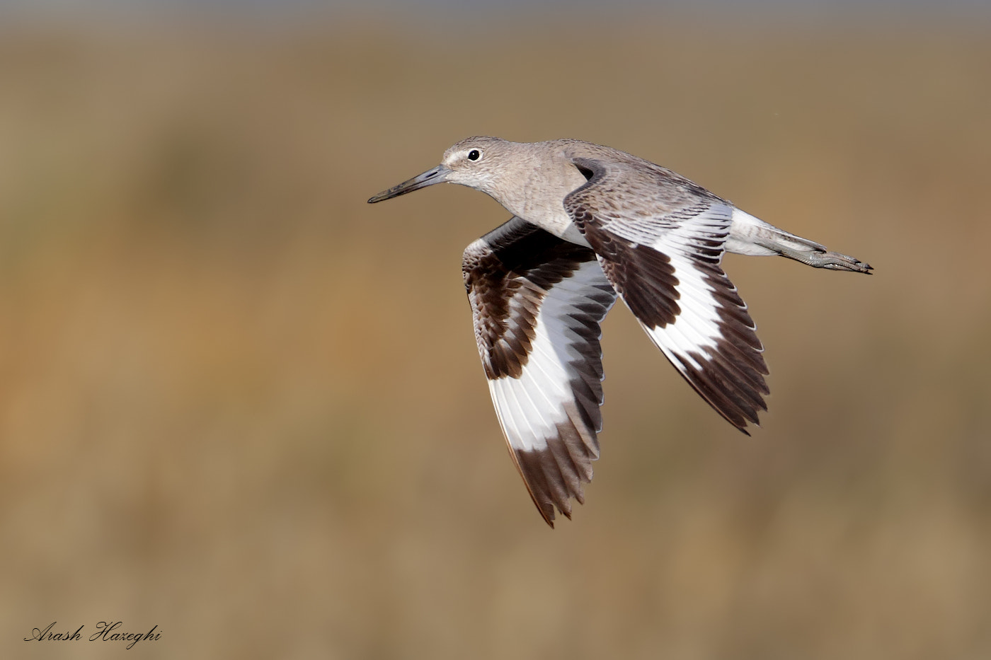 Photograph Willet by Ari Hazeghi on 500px