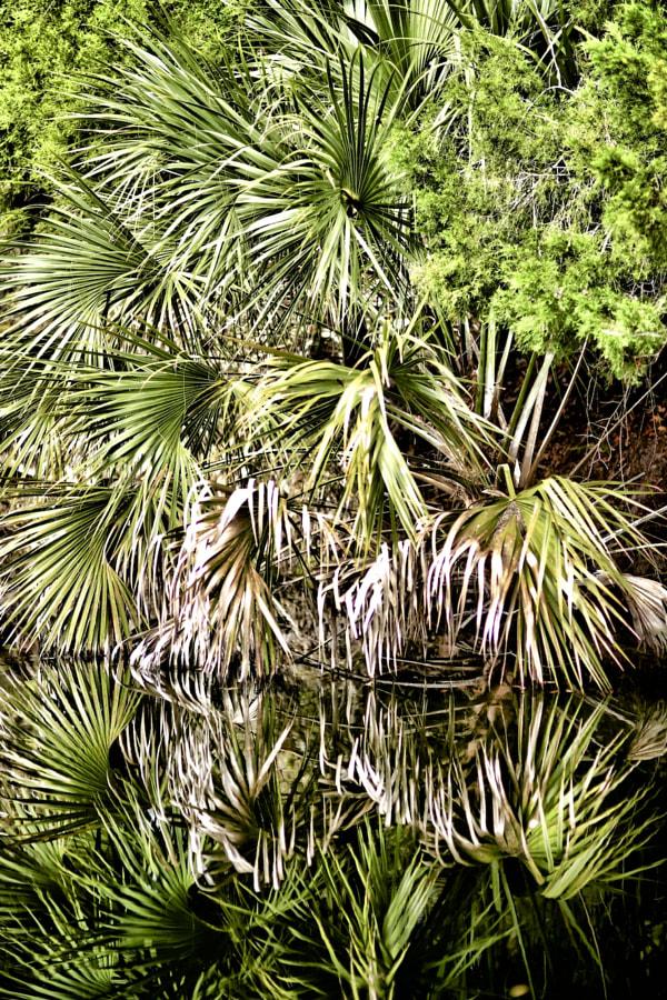 Florida Trees Palmetto
