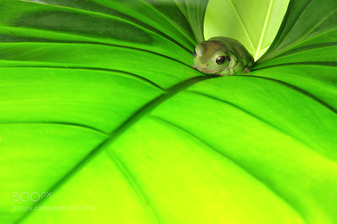 Photograph green frog by Chatchawan Thitirochanawat on 500px