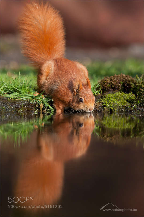 Photograph Squirrel at our pond by Monique Bogaerts on 500px