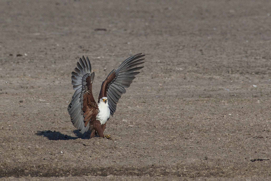 fish eagle after landing, okavango delta, botswana
