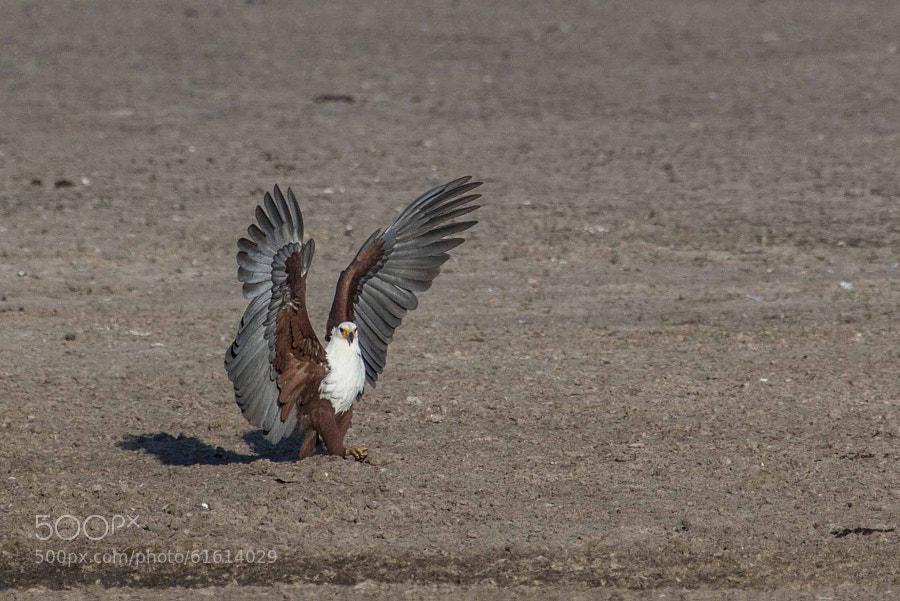 fish eagle after landing, okavango delta, botswana