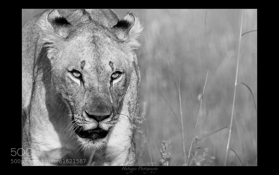 lioness at pilanesberg national park