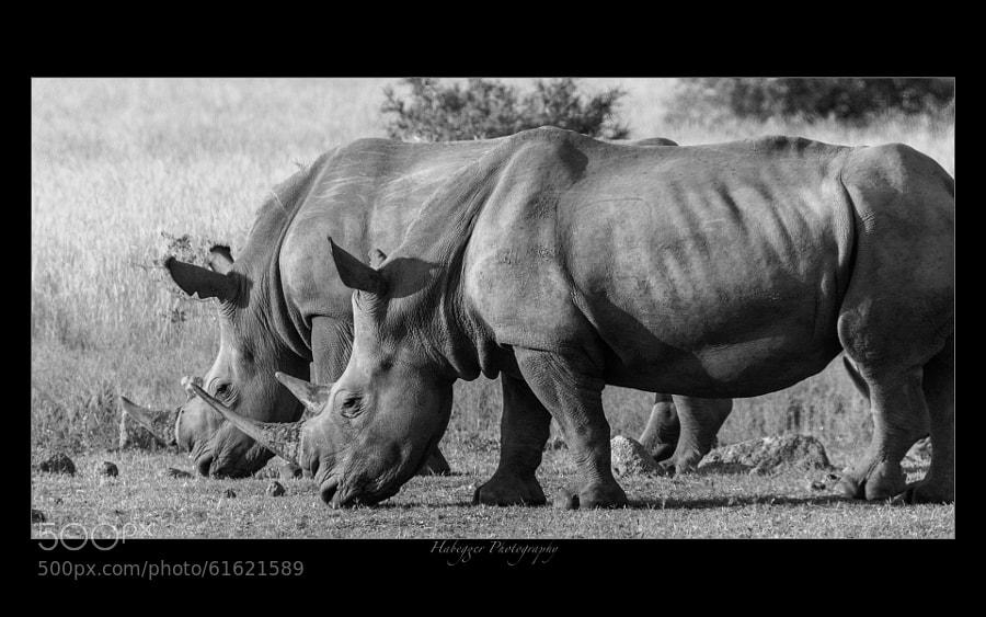two white rhinos at pilanesberg national park