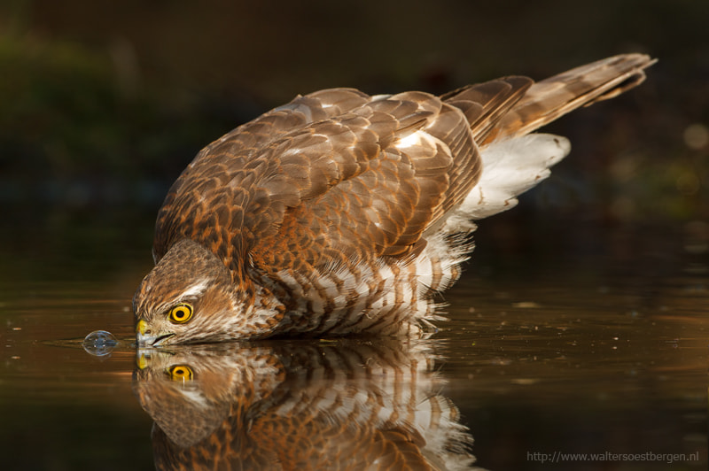 Photograph Drinking Eurasian Sparrowhawk by Walter Soestbergen on 500px