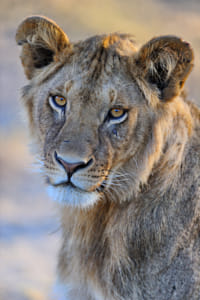 Female Lion in East Africa